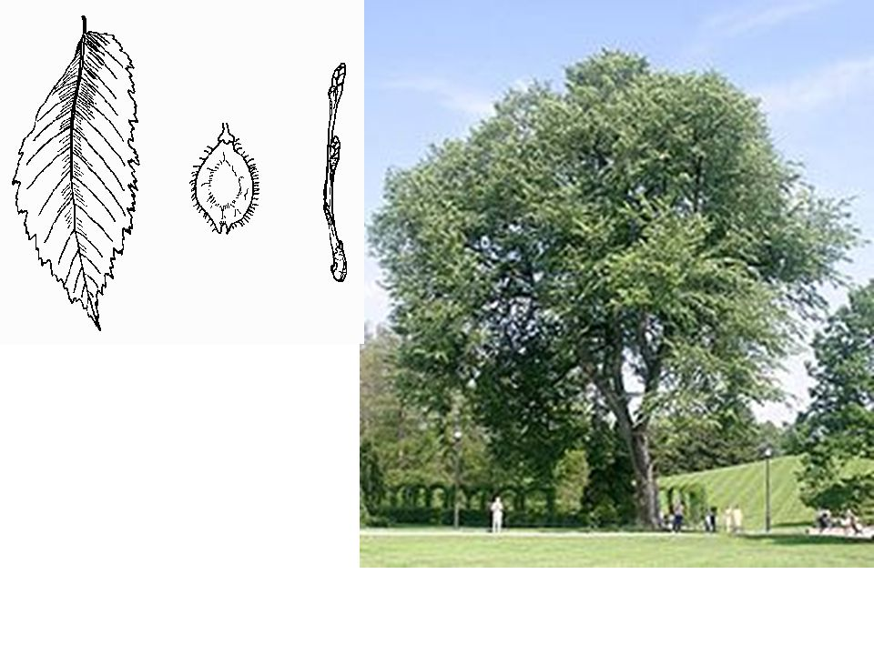 American Elm LEAVES: Alternate, simple, 4 -6 long, unequal at the base, rather rough on the upper surface; usually soft-hairy below; veins prominent; margin coarsely toothed.