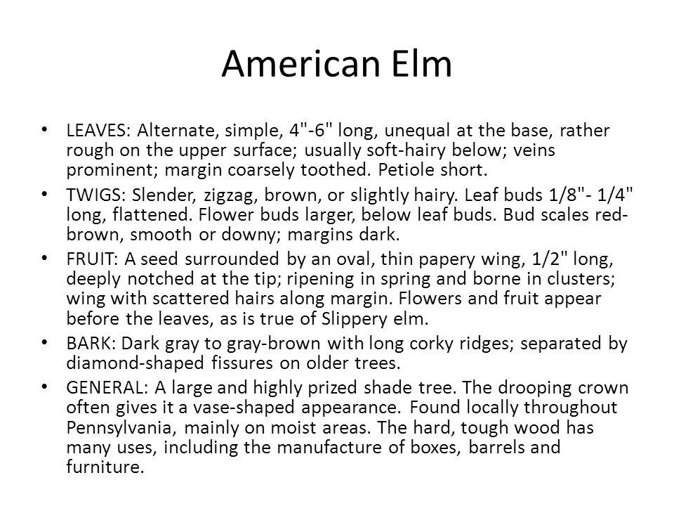 American Elm LEAVES: Alternate, simple, 4