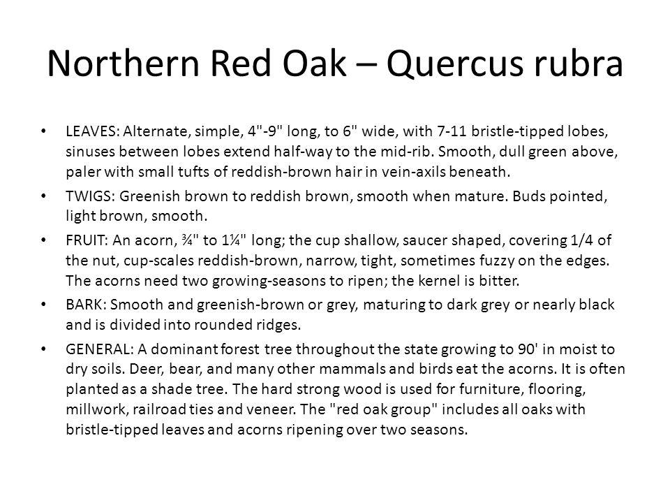 Northern Red Oak – Quercus rubra LEAVES: Alternate, simple, 4