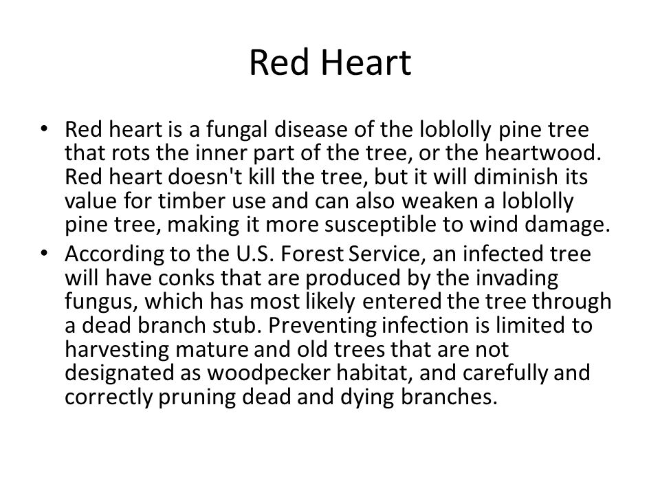 Red Heart Red heart is a fungal disease of the loblolly pine tree that rots the inner part of the tree, or the heartwood. Red heart doesn't kill the t