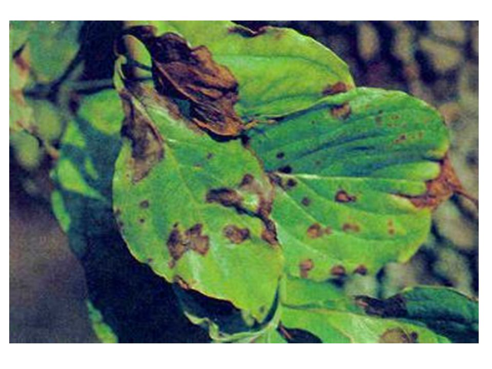 Dogwood Anthracnose Shortly after the leaves have expanded (mid-late May and June), spots and blotches of varying shape and size appear on infected trees.