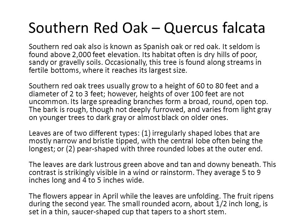 Southern Red Oak – Quercus falcata Southern red oak also is known as Spanish oak or red oak. It seldom is found above 2,000 feet elevation. Its habita