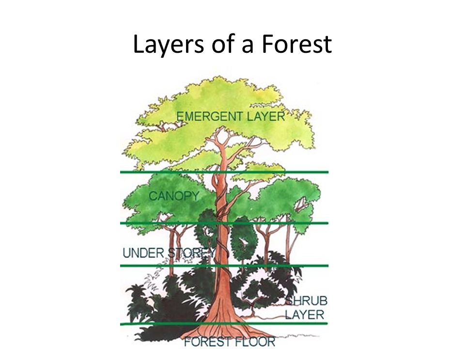 Layers of a Forest – Forest Floor This layer is comprised of decomposing leaves, animal droppings, and dead trees and animals.