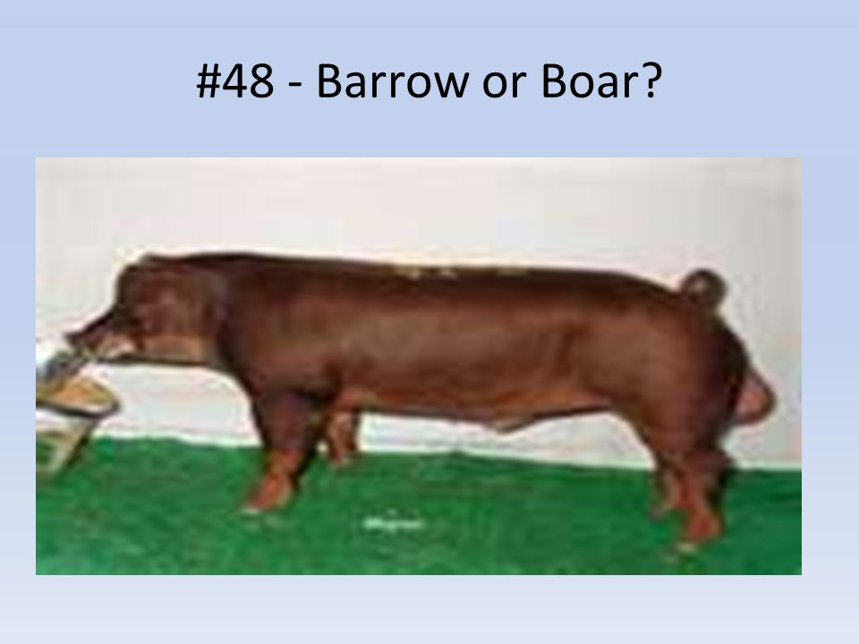 #48 - Barrow or Boar?