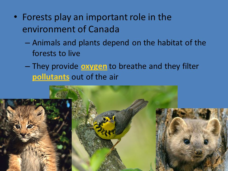 Forests play an important role in the environment of Canada – Animals and plants depend on the habitat of the forests to live – They provide oxygen to