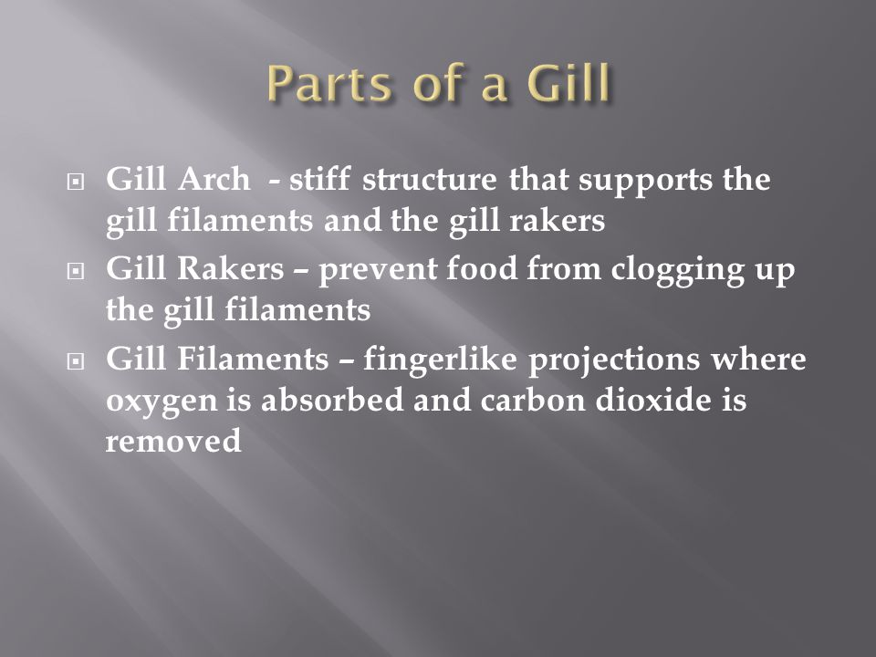  Gill Arch - stiff structure that supports the gill filaments and the gill rakers  Gill Rakers – prevent food from clogging up the gill filaments 