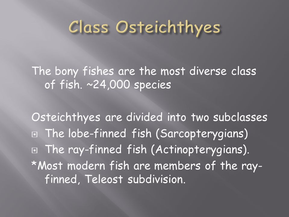 The bony fishes are the most diverse class of fish. ~24,000 species Osteichthyes are divided into two subclasses  The lobe-finned fish (Sarcopterygia