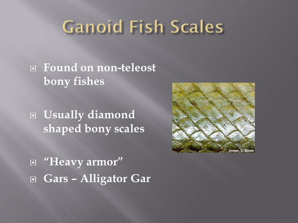 " Found on non-teleost bony fishes  Usually diamond shaped bony scales  ""Heavy armor""  Gars – Alligator Gar"