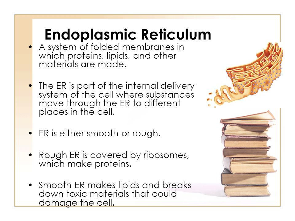 Endoplasmic Reticulum A system of folded membranes in which proteins, lipids, and other materials are made. The ER is part of the internal delivery sy