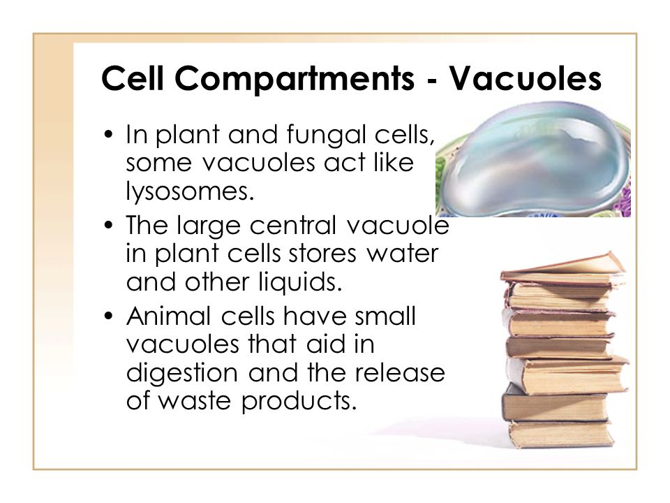 Cell Compartments - Vacuoles In plant and fungal cells, some vacuoles act like lysosomes. The large central vacuole in plant cells stores water and ot