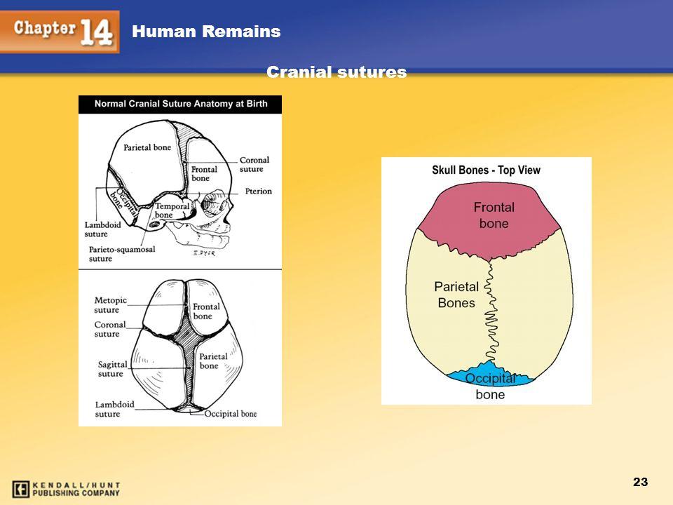 Human Remains 23 Cranial sutures