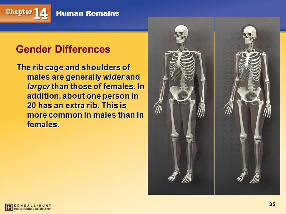 Human Remains 35 Gender Differences The rib cage and shoulders of males are generally wider and larger than those of females. In addition, about one p