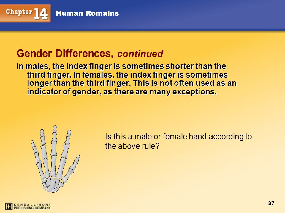 Human Remains 37 Gender Differences, continued In males, the index finger is sometimes shorter than the third finger. In females, the index finger is