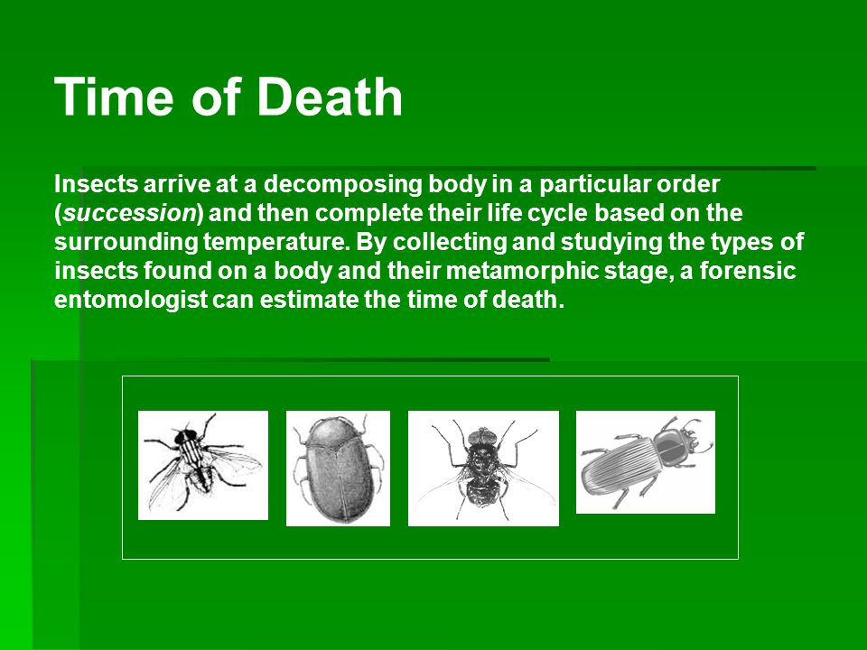 Insects of Death Diptera First to arrive Then Blowflies Flesh flies Houseflies Flies can arrive within minutes.