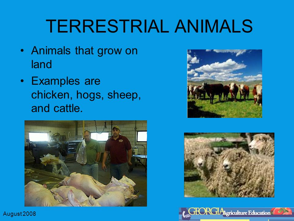 August 2008 TERRESTRIAL ANIMALS Animals that grow on land Examples are chicken, hogs, sheep, and cattle.