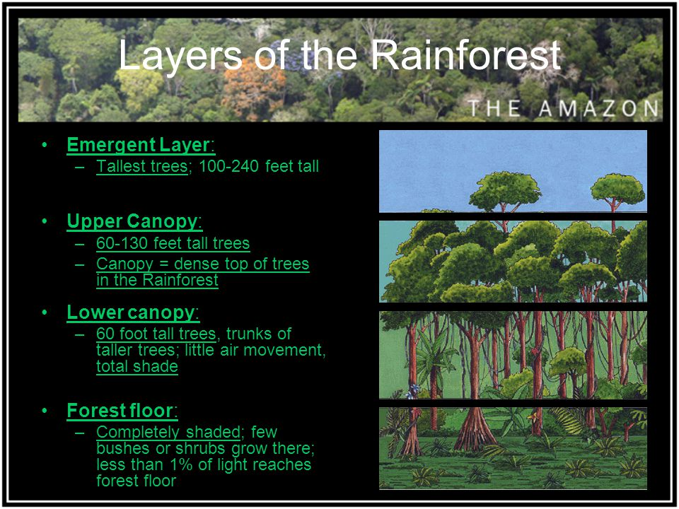 Layers of the Rainforest Emergent Layer: –Tallest trees; 100-240 feet tall Upper Canopy: –60-130 feet tall trees –Canopy = dense top of trees in the R