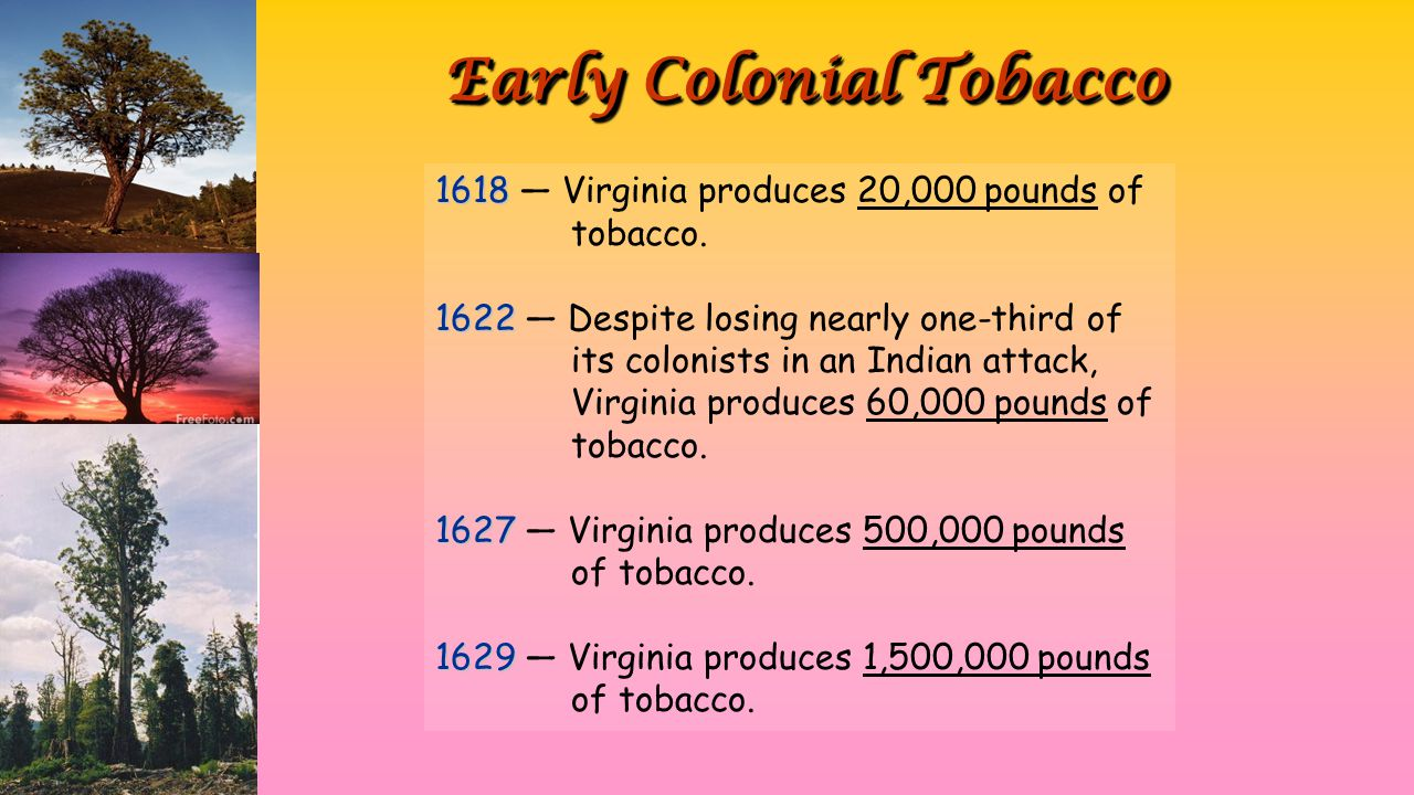 Early Colonial Tobacco 1618 1618 — Virginia produces 20,000 pounds of tobacco. 1622 1622 — Despite losing nearly one-third of its colonists in an Indi