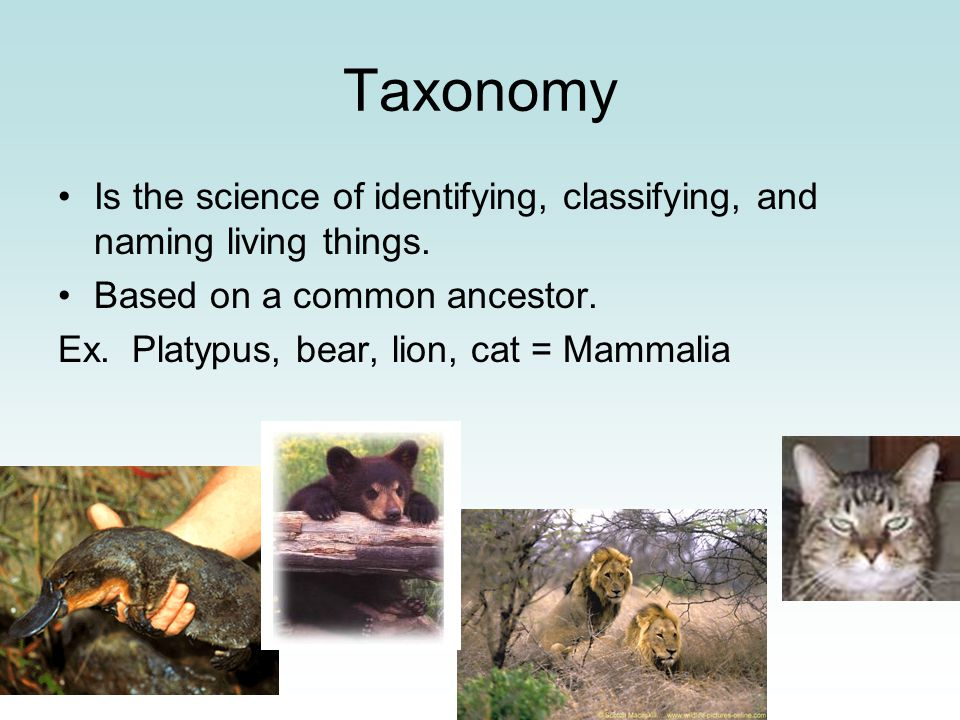 Taxonomy Is the science of identifying, classifying, and naming living things. Based on a common ancestor. Ex. Platypus, bear, lion, cat = Mammalia