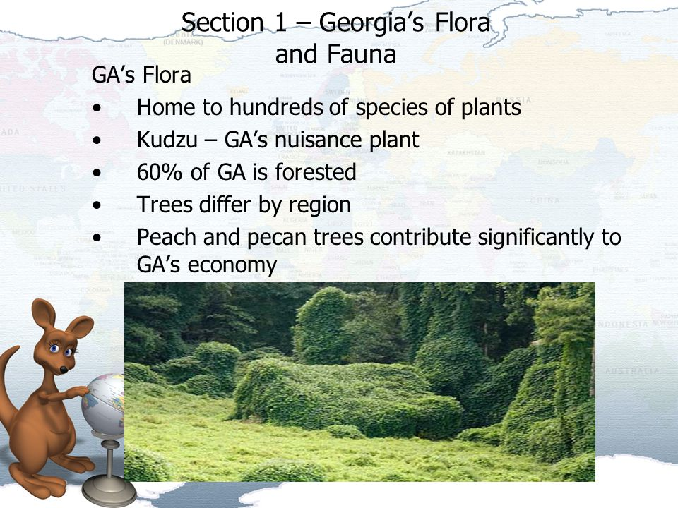 Section 1 – Georgia's Flora and Fauna GA's Flora Home to hundreds of species of plants Kudzu – GA's nuisance plant 60% of GA is forested Trees differ by region Peach and pecan trees contribute significantly to GA's economy
