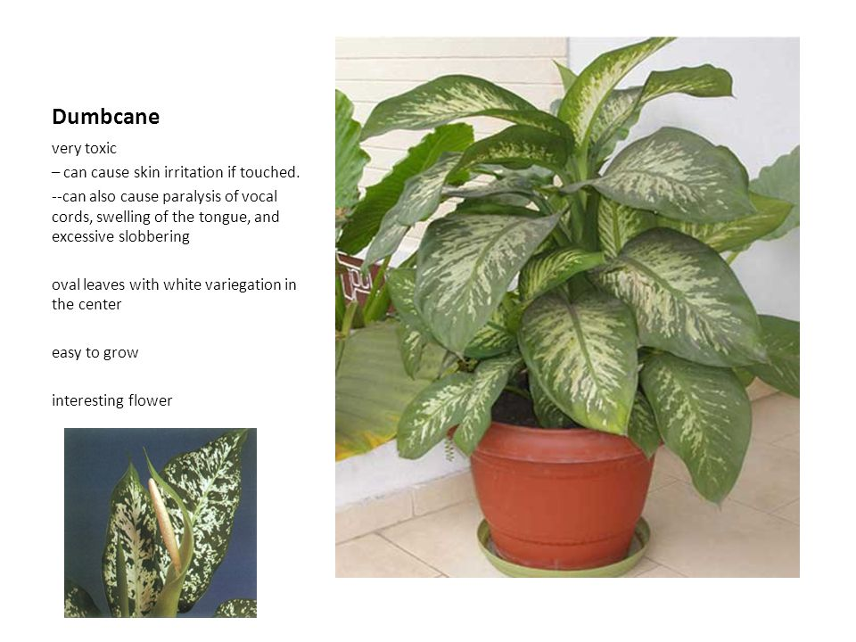Dumbcane very toxic – can cause skin irritation if touched. --can also cause paralysis of vocal cords, swelling of the tongue, and excessive slobberin