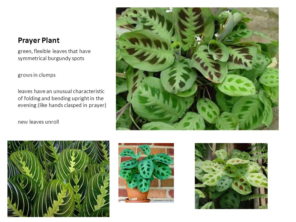 Prayer Plant green, flexible leaves that have symmetrical burgundy spots grows in clumps leaves have an unusual characteristic of folding and bending