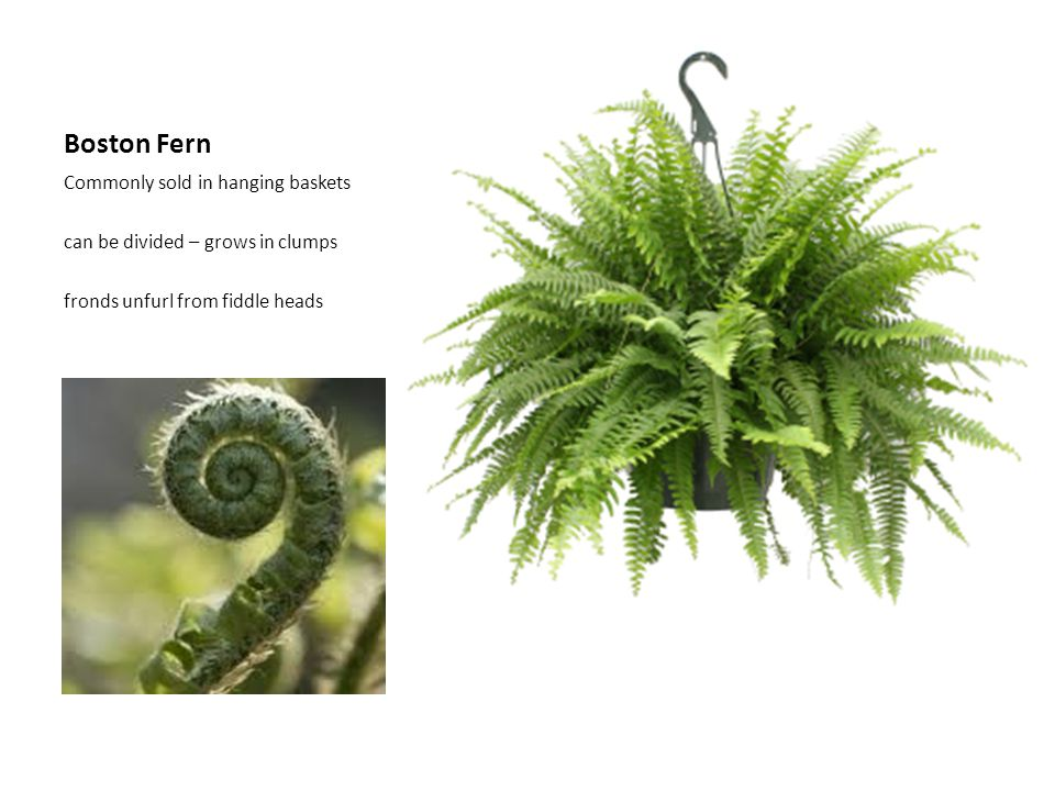 Boston Fern Commonly sold in hanging baskets can be divided – grows in clumps fronds unfurl from fiddle heads