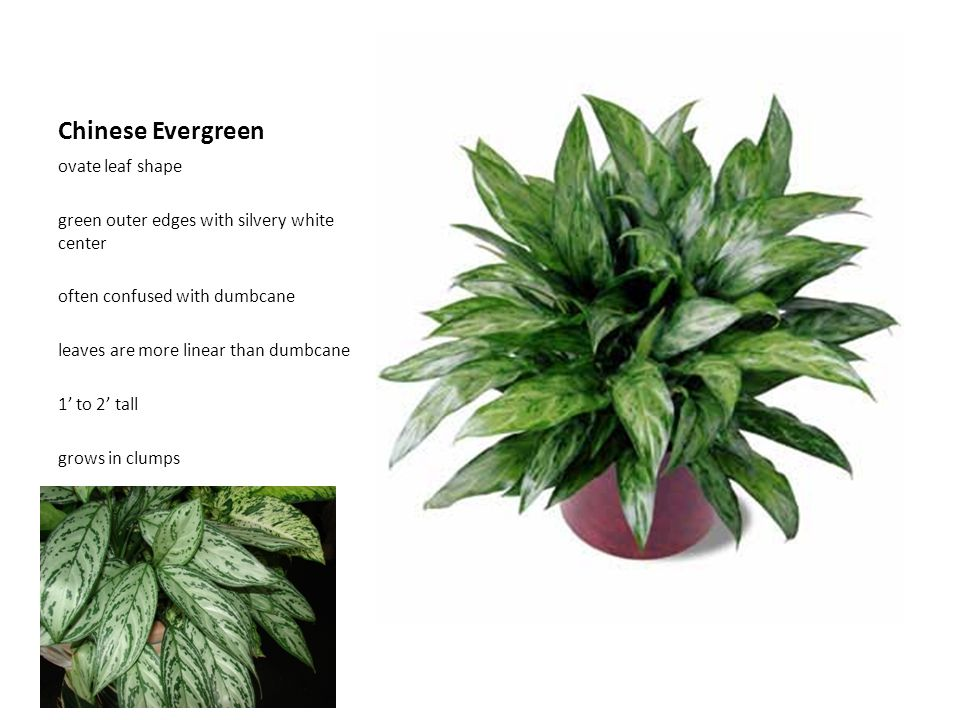 Chinese Evergreen ovate leaf shape green outer edges with silvery white center often confused with dumbcane leaves are more linear than dumbcane 1' to