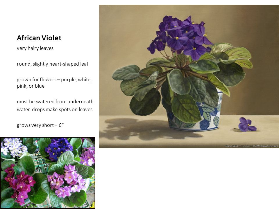 African Violet very hairy leaves round, slightly heart-shaped leaf grown for flowers – purple, white, pink, or blue must be watered from underneath wa