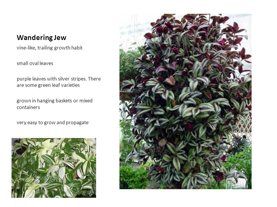 Wandering Jew vine-like, trailing growth habit small oval leaves purple leaves with silver stripes. There are some green leaf varieties grown in hangi