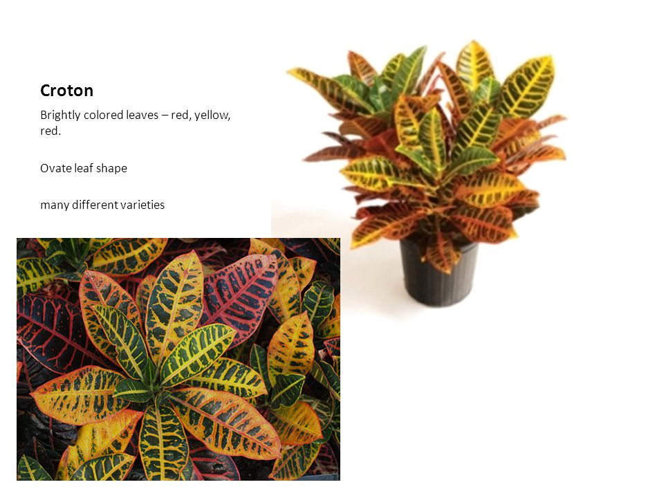 Croton Brightly colored leaves – red, yellow, red. Ovate leaf shape many different varieties