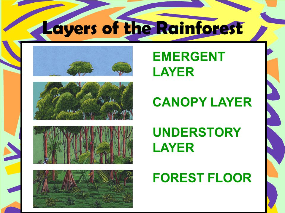 Layers of the Rainforest EMERGENT LAYER CANOPY LAYER UNDERSTORY LAYER FOREST FLOOR