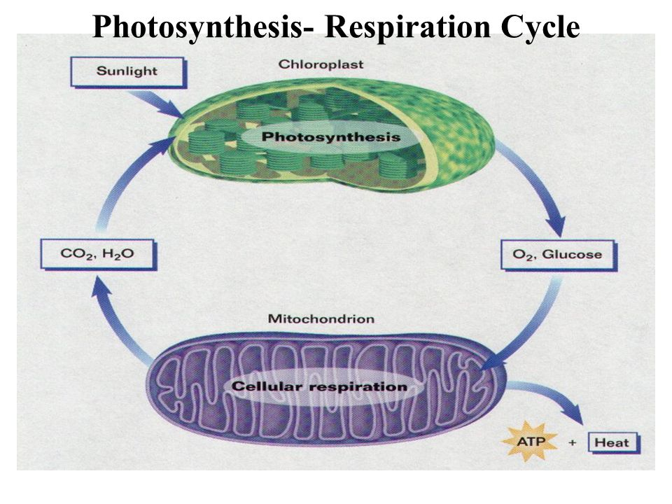 Photosynthesis- Respiration Cycle