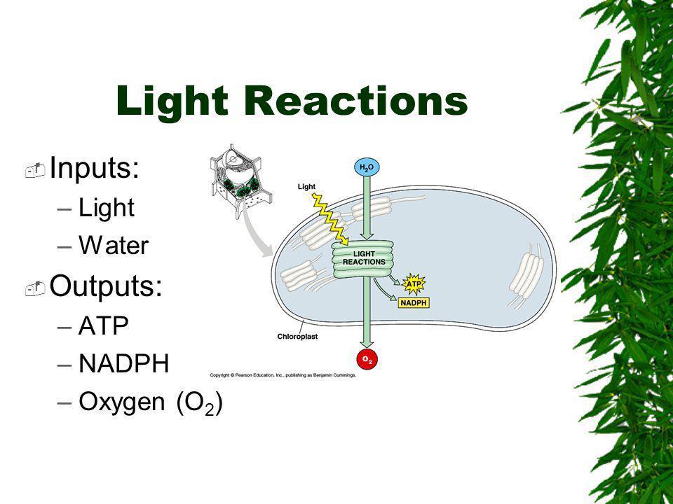 Light Reactions  Inputs: –Light –Water  Outputs: –ATP –NADPH –Oxygen (O 2 )