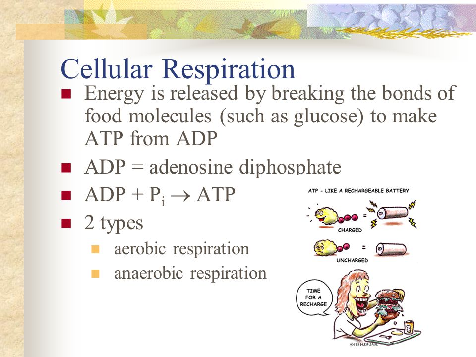 Cellular Respiration Energy is released by breaking the bonds of food molecules (such as glucose) to make ATP from ADP ADP = adenosine diphosphate ADP