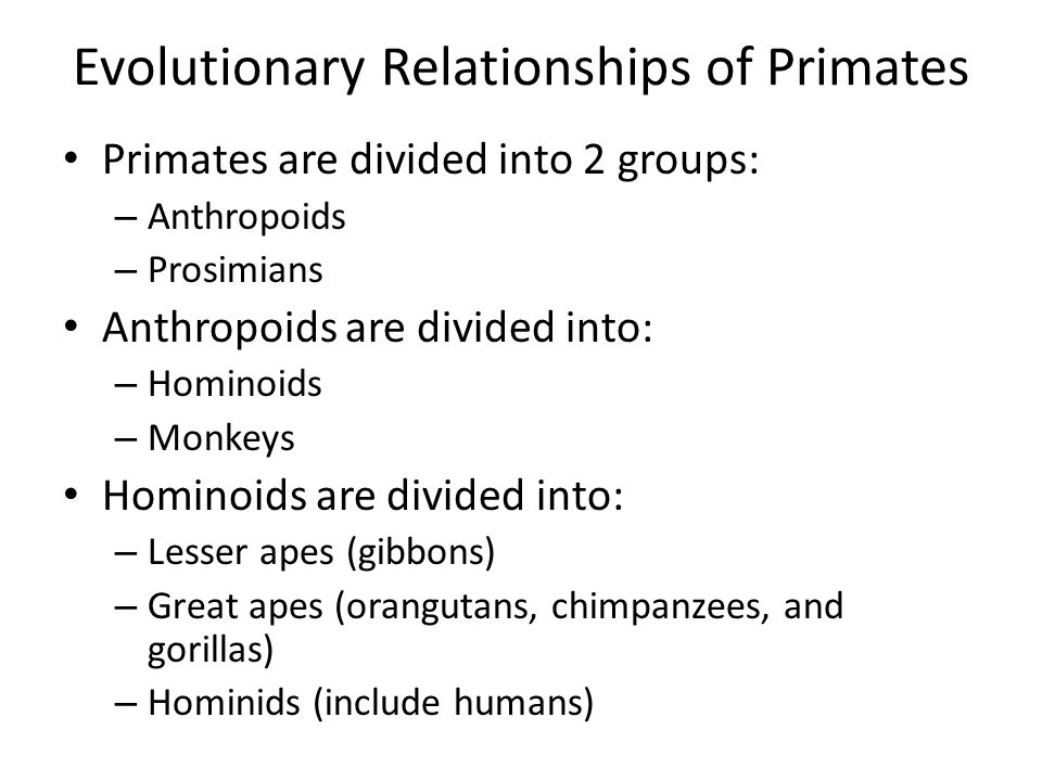 Evolutionary Relationships of Primates Primates are divided into 2 groups: – Anthropoids – Prosimians Anthropoids are divided into: – Hominoids – Monk