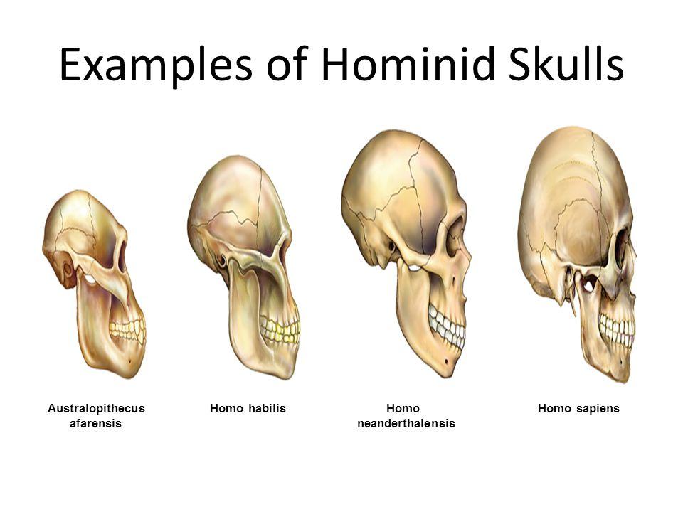 Examples of Hominid Skulls Australopithecus afarensis Homo habilisHomo neanderthalensis Homo sapiens