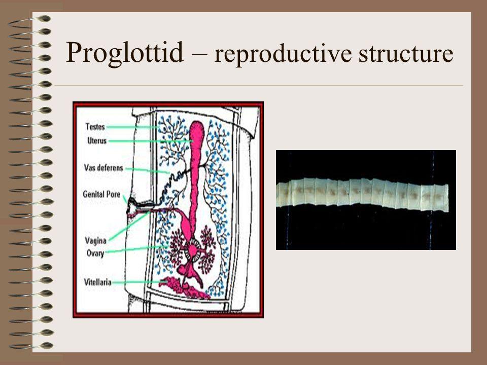 Proglottid – reproductive structure