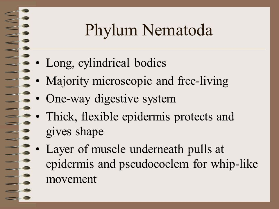 Phylum Nematoda Long, cylindrical bodies Majority microscopic and free-living One-way digestive system Thick, flexible epidermis protects and gives sh