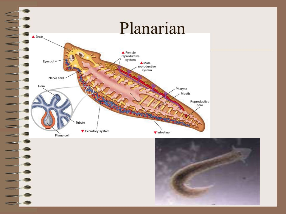 Phylum Platyhelminthes Many parasitic –Endoparasite- internal –Ectoparasite- external Class Cestoidea Subclass Eucestoda- Parasitic flatworms (tapeworms) –Suckers and hooks on scolex (head) attach to walls of intestines and food absorbed from host's intestines directly through the tapeworm's skin