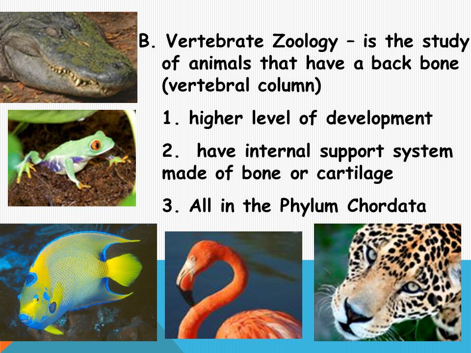 B. Vertebrate Zoology – is the study of animals that have a back bone (vertebral column) 1. higher level of development 2. have internal support syste