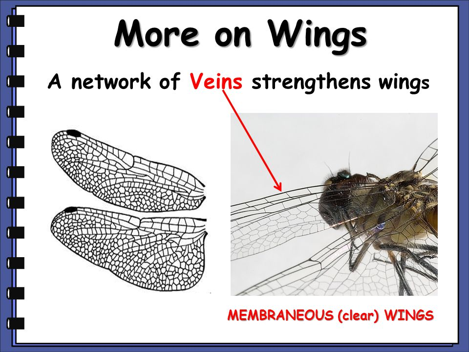 More on Wings A network of Veins strengthens wing s MEMBRANEOUS (clear) WINGS