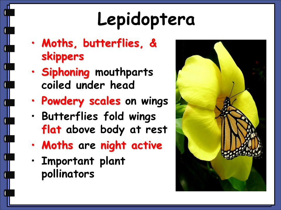Lepidoptera Moths, butterflies, & skippersMoths, butterflies, & skippers SiphoningSiphoning mouthparts coiled under head Powdery scalesPowdery scales on wings flatButterflies fold wings flat above body at rest Mothsnight activeMoths are night active Important plant pollinators