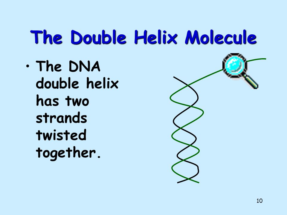 9 The Shape of the Molecule DNA is a very long polymer. The basic shape is like a twisted ladder or zipper. This is called a double helix.