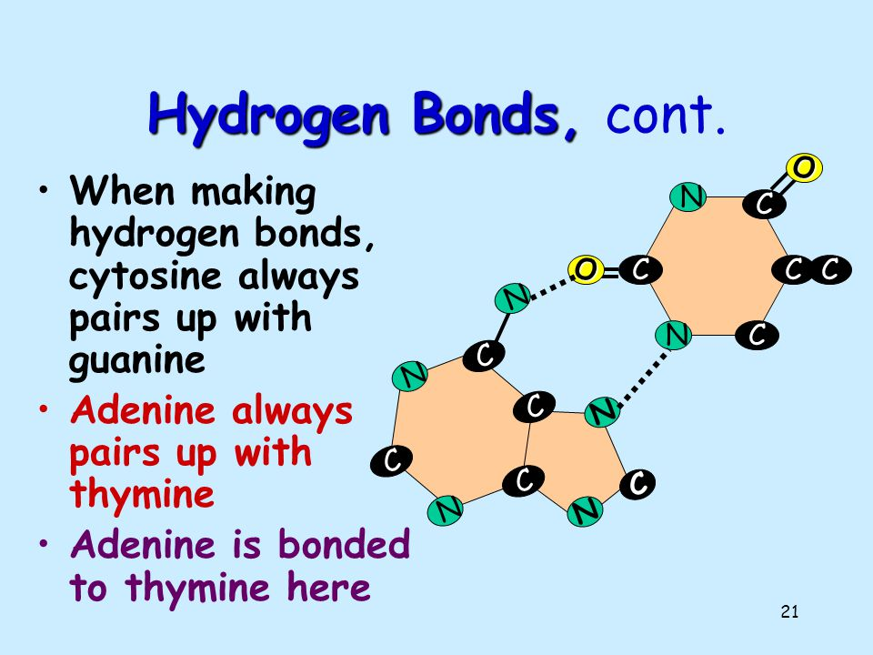 20 C C C C N N O N C C C C N N O N N N C Hydrogen Bonds The bases attract each other because of hydrogen bonds. Hydrogen bonds are weak but there are