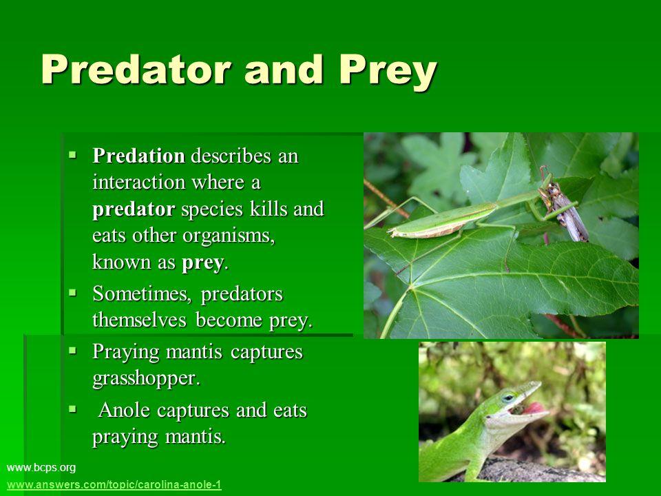 Predator and Prey  Predation describes an interaction where a predator species kills and eats other organisms, known as prey.  Sometimes, predators