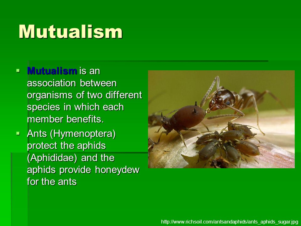 Mutualism  Mutualism is an association between organisms of two different species in which each member benefits.  Ants (Hymenoptera) protect the aph