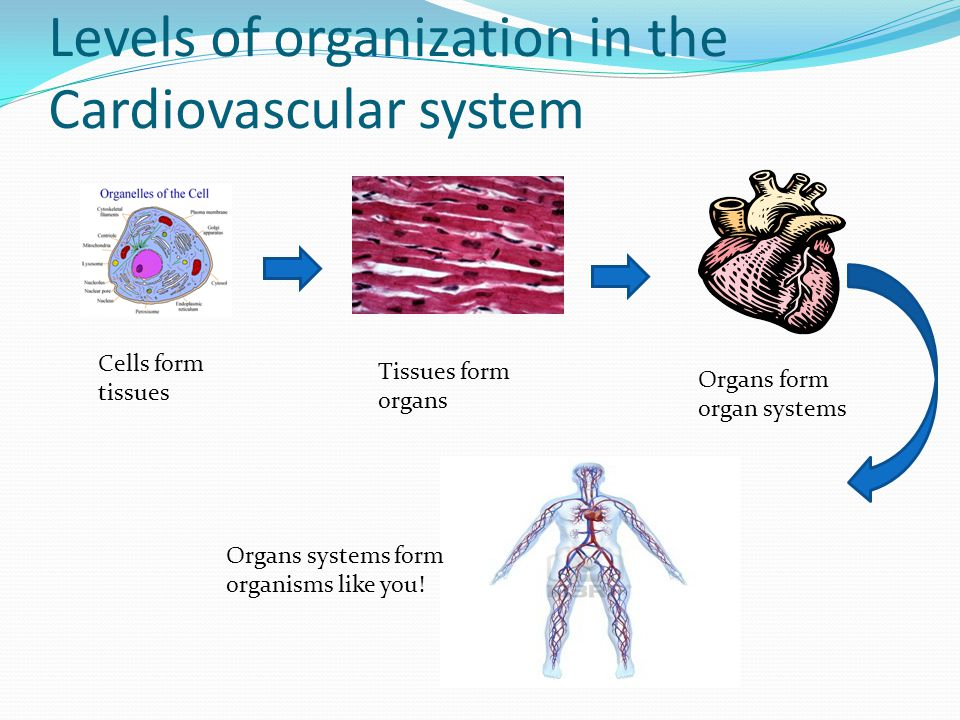 Levels of organization in the Cardiovascular system Cells form tissues Tissues form organs Organs form organ systems Organs systems form organisms like you!