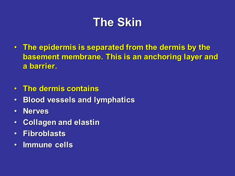 The Skin The epidermis is separated from the dermis by the basement membrane.