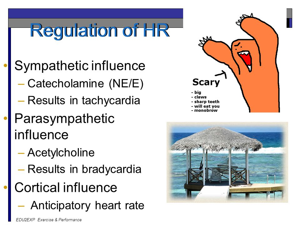 EDU2EXP Exercise & Performance Regulation of HR Sympathetic influence –Catecholamine (NE/E) –Results in tachycardia Parasympathetic influence –Acetylc