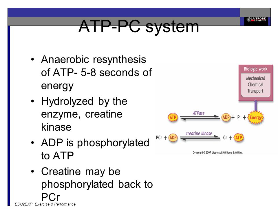 EDU2EXP Exercise & Performance ATP-PC system Anaerobic resynthesis of ATP- 5-8 seconds of energy Hydrolyzed by the enzyme, creatine kinase ADP is phos